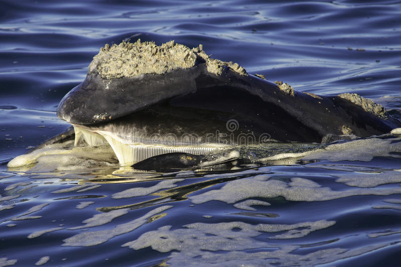 Südlicher rechter Baleen lizenzfreies stockfoto
