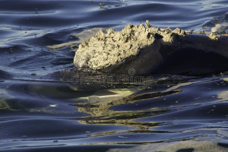 Südlicher rechter Baleen lizenzfreie stockbilder