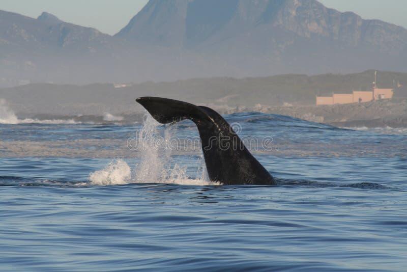 Südlicher rechter lobtailing Wal stockbild
