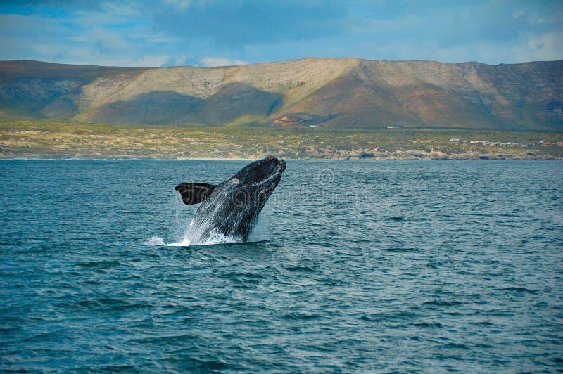 Südlicher rechter Wal stockbilder