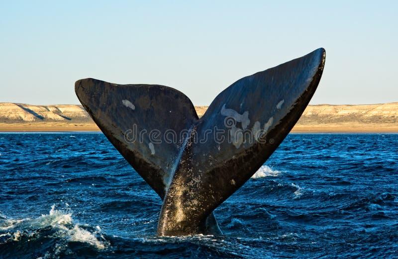 Südlicher rechter Wal im Patagonia. lizenzfreie stockbilder