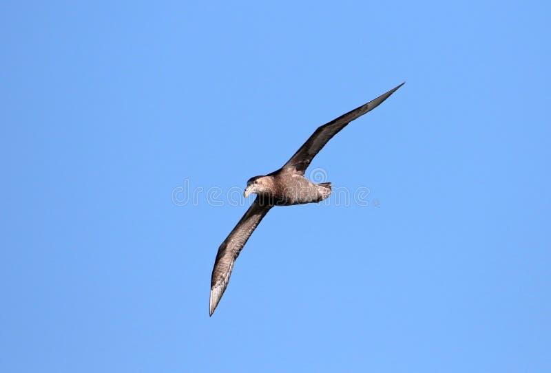 Südlicher riesiger Sturmvogel, Macronectes giganteus, im Flug mit blauen Himmeln von der Antarktis lizenzfreie stockbilder