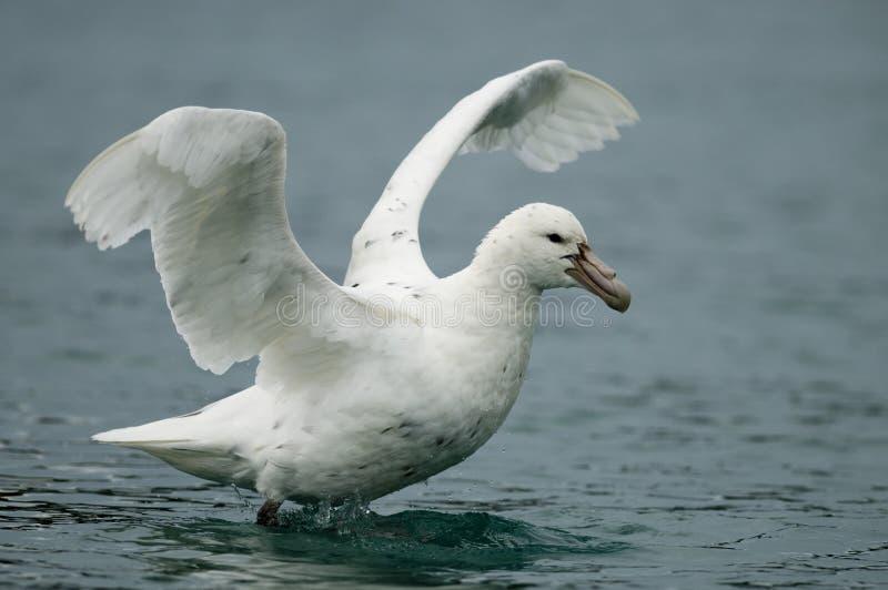 Südlicher riesiger Sturmvogel - Weiß verwandelt stockbild