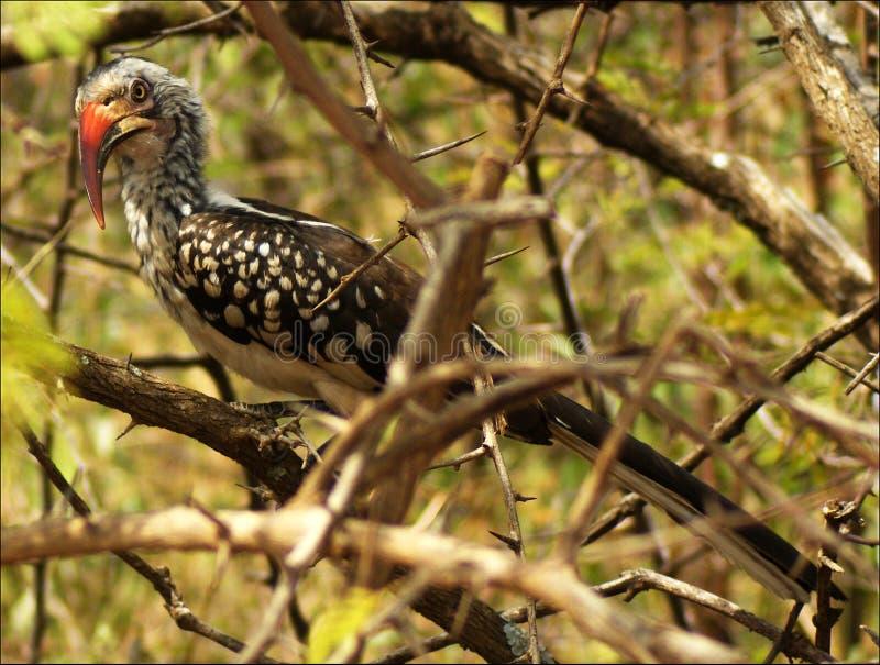 Südlicher Rot-berechneter Hornbill stockfotos