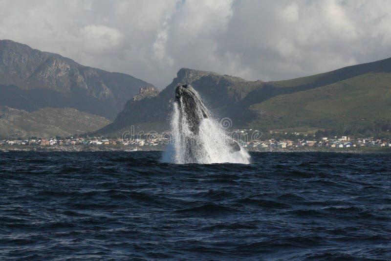 Südliches Durchbrechen des rechten Wals lizenzfreie stockfotografie