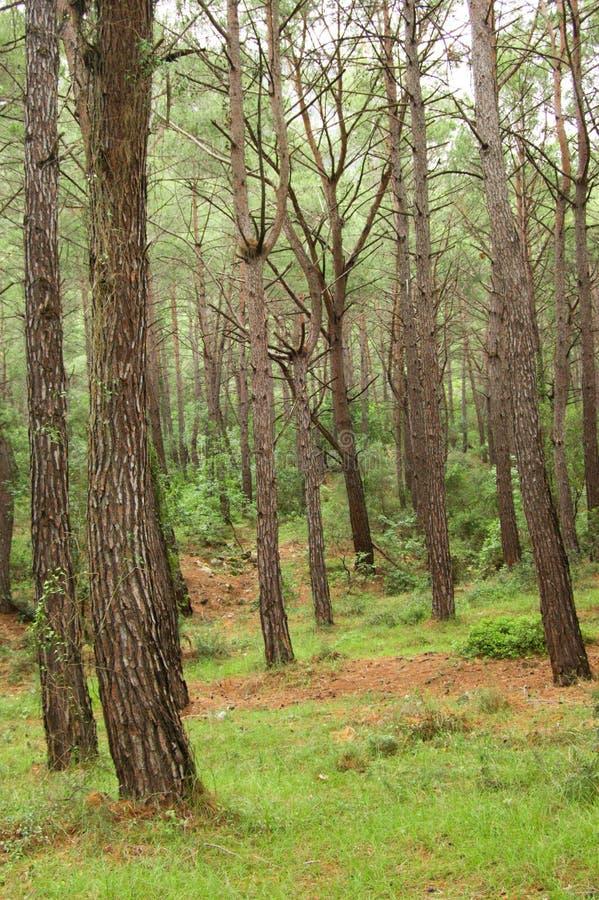 Südliches Kieferholz stockfoto