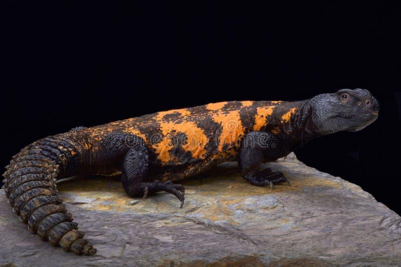 Südstachelig-angebundene Saharaeidechse (Uromastyx-flavifasciata) lizenzfreies stockfoto