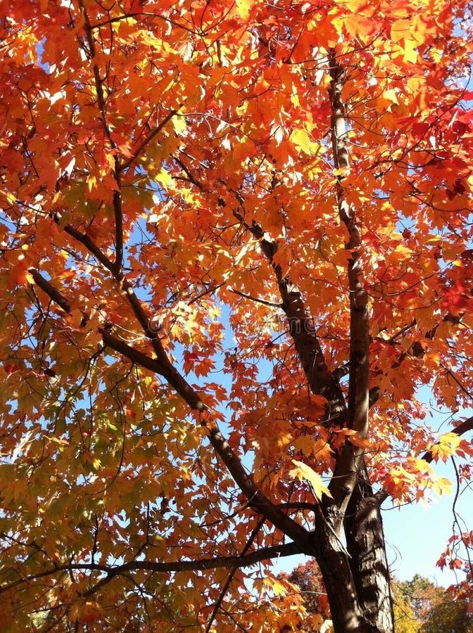 Sąsiedztwa drzewo w spadku obrazy royalty free