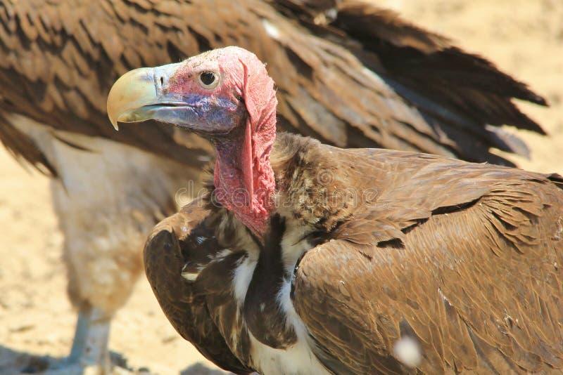 Sęp, fałda Stawiał czoło ptaka drapieżnego format - Dziki Ptasi tło od Afryka - obrazy stock