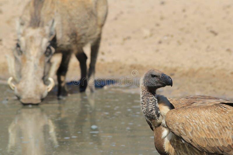Sęp i swój posiłek - przyroda od Afryka, Warthog niebezpieczeństwa - fotografia royalty free