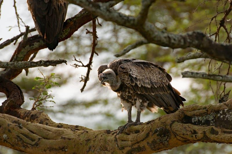 Sęp, Jeziorny Nakuru, Kenia zdjęcia royalty free