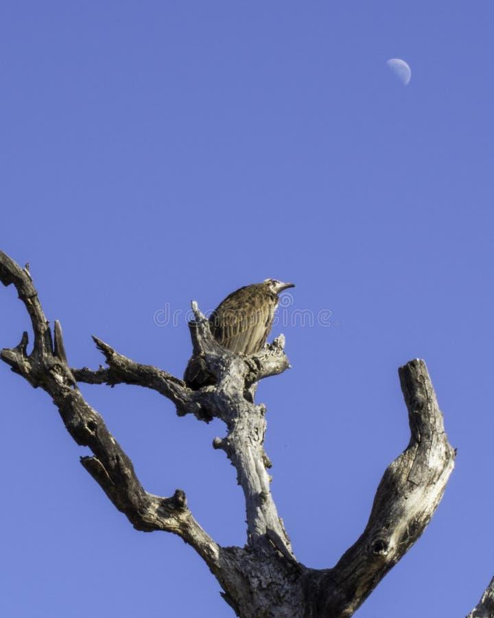 Sęp, księżyc/- ptaki Wielki Lumpopo Transfrontier park zdjęcie royalty free