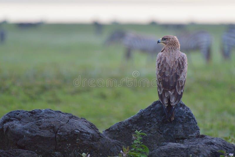 Sęp na parku narodowym fotografia stock