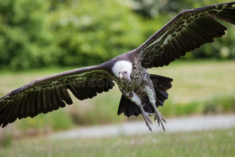 Sęp w lota przybyciu ziemia Latający śmieciarza ptaka lądowanie obraz royalty free