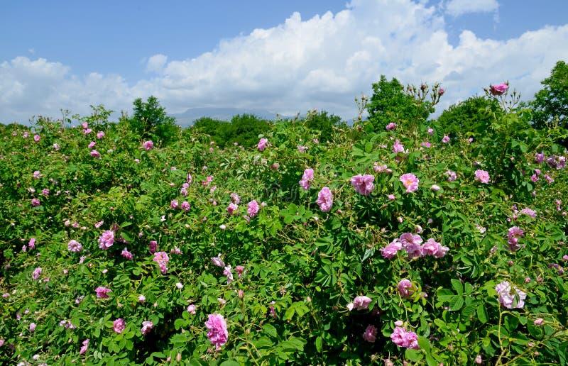 Sławny wzrastał pola w Thracian dolinie blisko Kazanlak fotografia stock