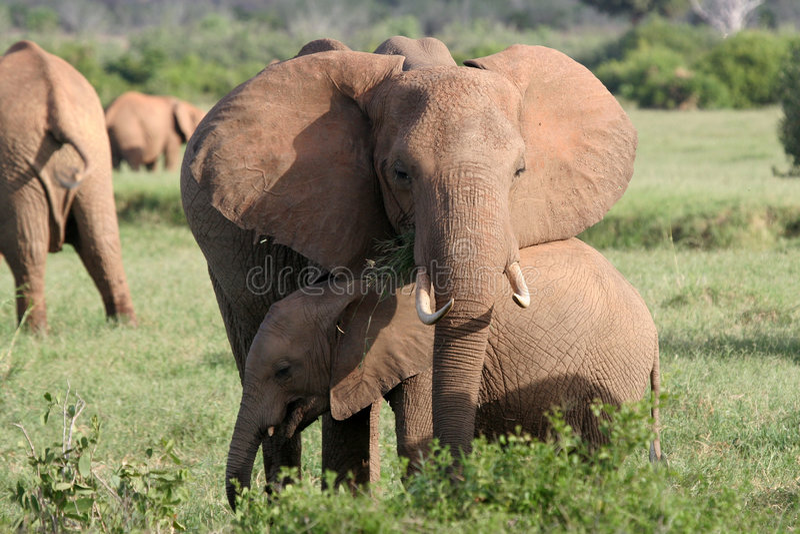 słoń łydkowa matka zdjęcia royalty free