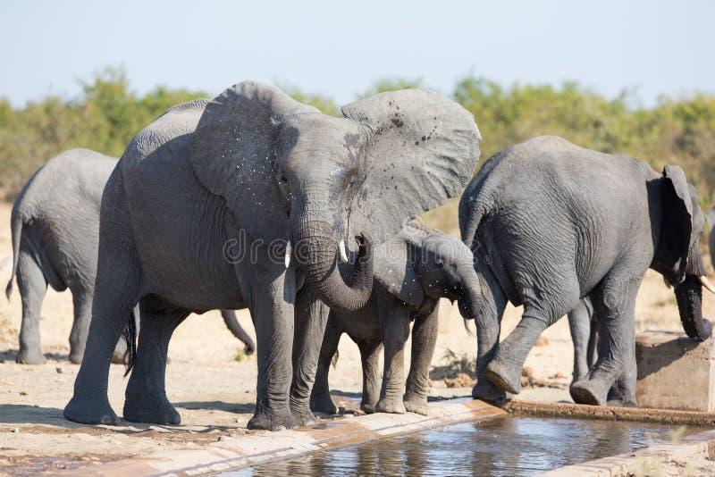 Słoń łydkowa woda pitna na suchym i gorącym dniu zdjęcie stock