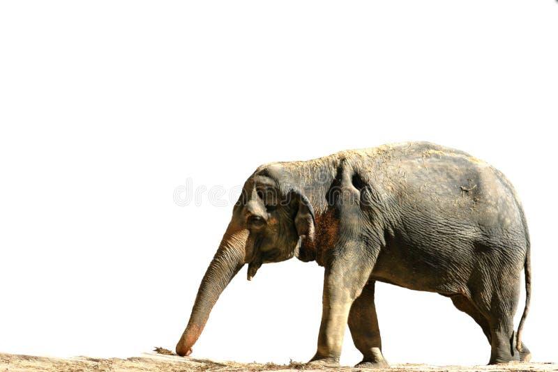 Download Słoń zdjęcie stock. Obraz złożonej z bagażnik, silny, odosobniony - 37792
