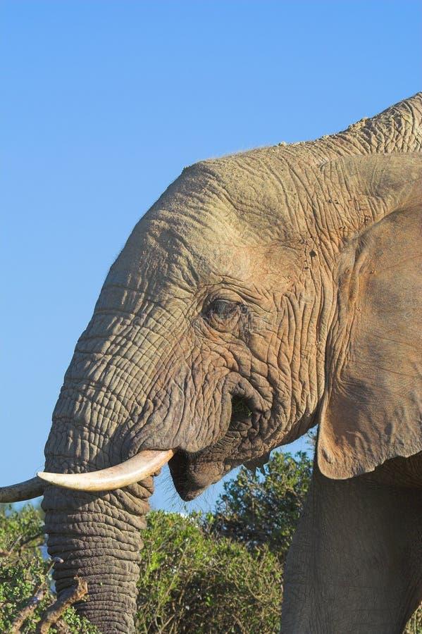 słoń afrykański zdjęcie royalty free