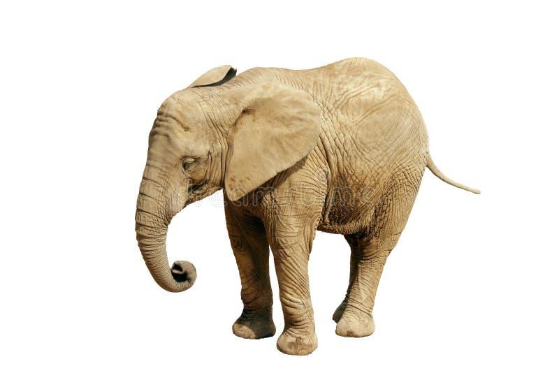 słoń afrykański izolacji obraz stock