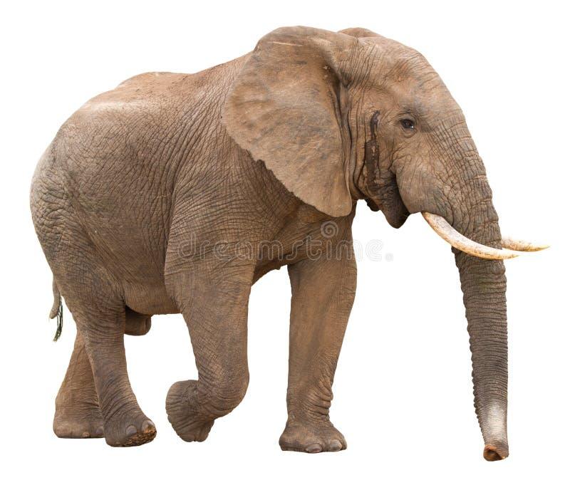 słoń afrykański izolacji zdjęcia stock