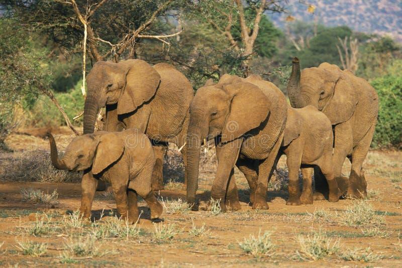 słoń afrykański stada fotografia stock