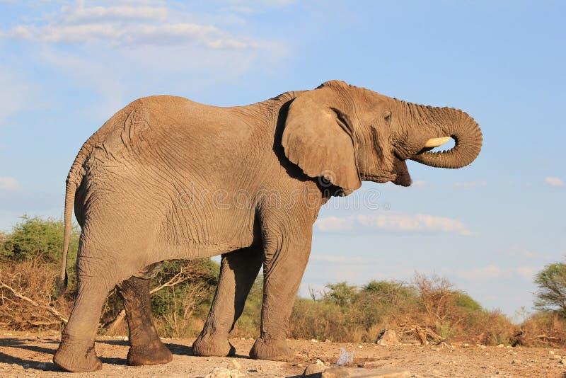Słoń, Afrykanin - wielki Pragnienie 4 fotografia stock