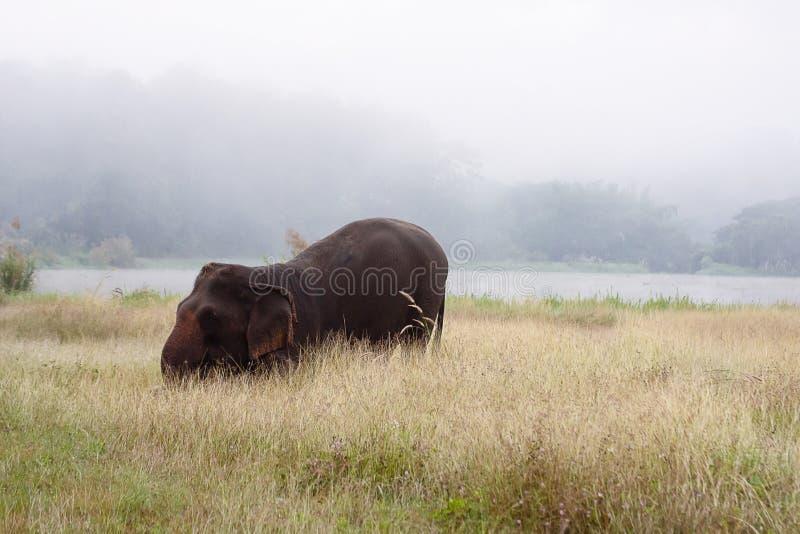 Słoń azjatycki chodzący po brudnej trawiastej ścieżce w mętnym letnim dniu w Parku Naturalnym Słonia w Lampang, Tajlandia zdjęcia stock
