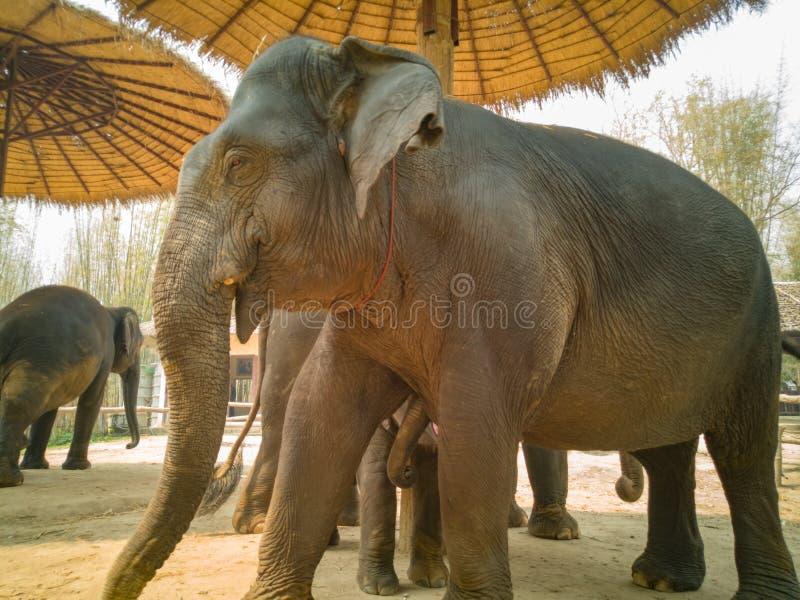 Słoń breastfeed dziecko zdjęcie stock