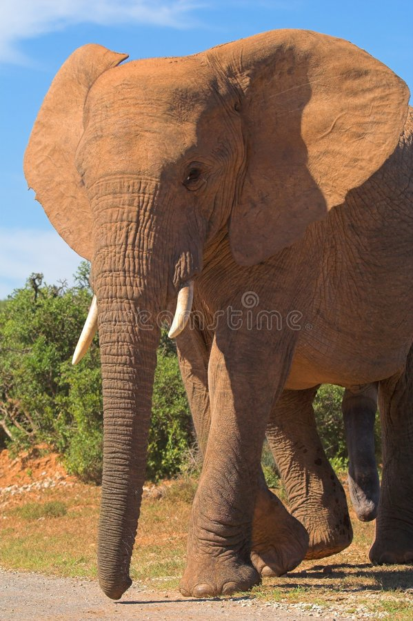 słoń byka obrazy stock