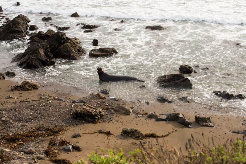 Słoń foka Z wybrzeża fotografia stock