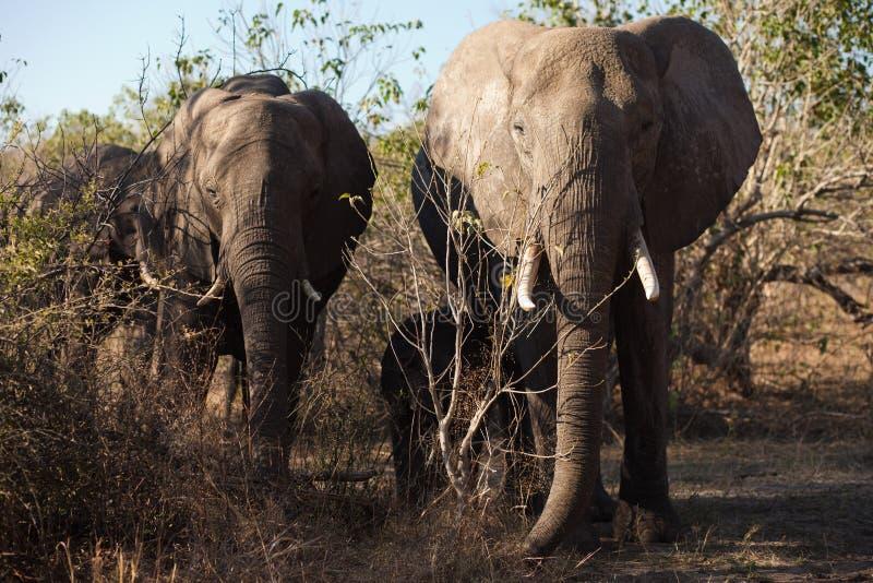 słoń głowa dwa obraz stock