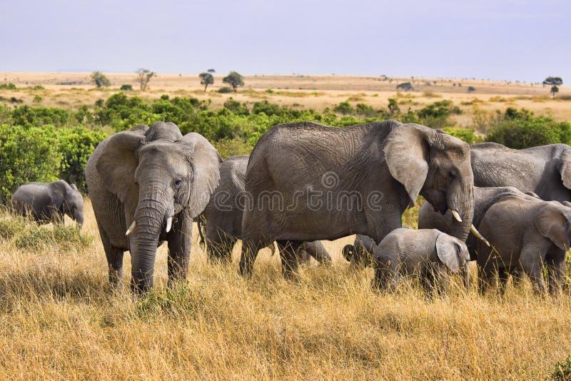 słoń grupa obrazy stock