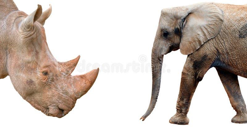 Słoń i nosorożec odizolowywający na białym tle fotografia royalty free