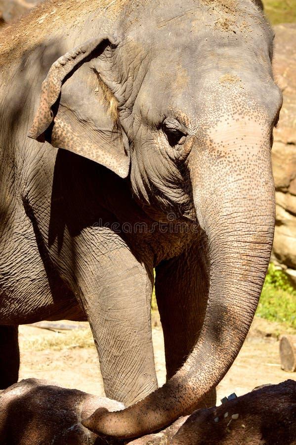 Słoń indyjski zdjęcie royalty free