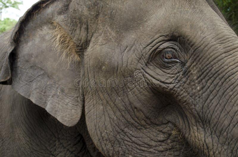 słoń kierowniczy s zdjęcia stock
