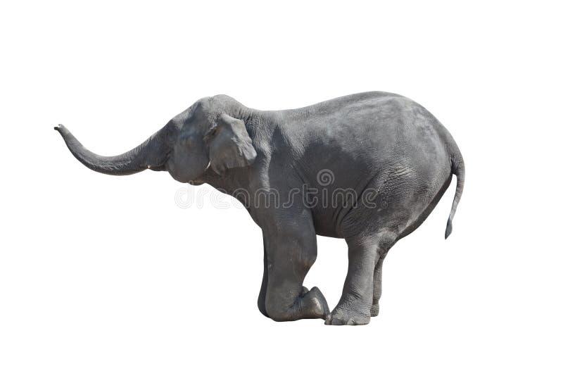 słoń klęczał zdjęcia royalty free