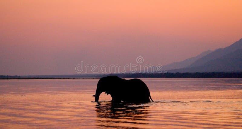 Słoń krzyżuje Zambezi rzekę przy zmierzchem w menchiach Zambiowie zdjęcia stock