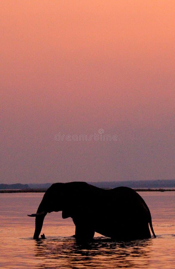 Słoń krzyżuje Zambezi rzekę przy zmierzchem w menchiach Zambiowie fotografia stock