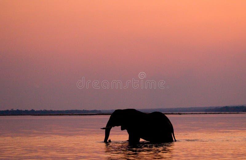 Słoń krzyżuje Zambezi rzekę przy zmierzchem w menchiach Zambiowie zdjęcia royalty free