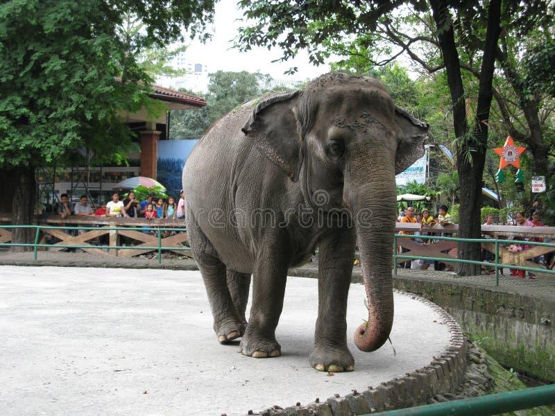 Słoń, Manila zoo, Manila, Filipiny zdjęcie royalty free