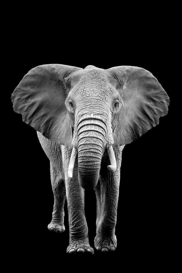 Słoń na ciemnym tle zdjęcia royalty free