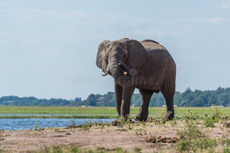 Słoń na riverbank pokrętnego bagażnika round kle zdjęcie royalty free