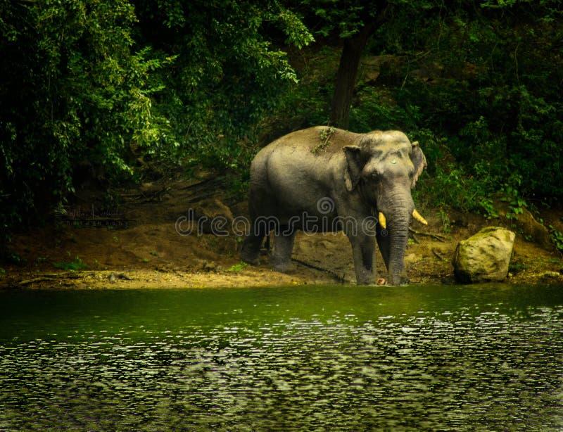 słoń osamotniony zdjęcie royalty free
