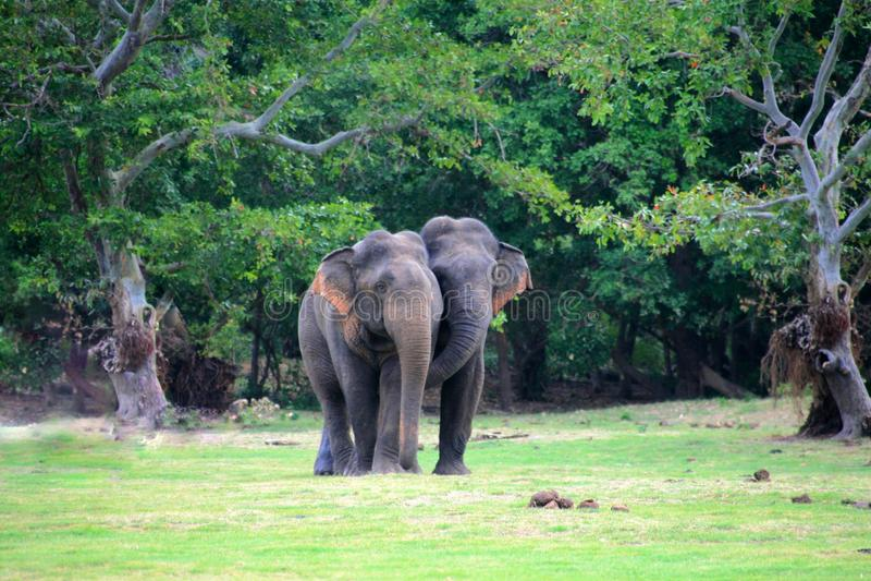 Słoń pary fotografia stock