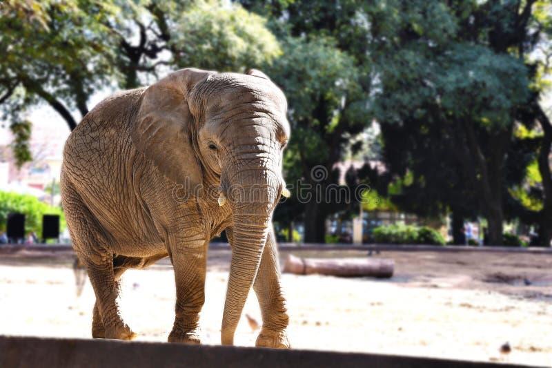 Słoń pozuje bardzo wygodnego zdjęcia stock