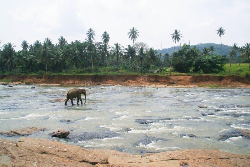 Słoń pozycja po środku rzeki z kamieniami obrazy royalty free