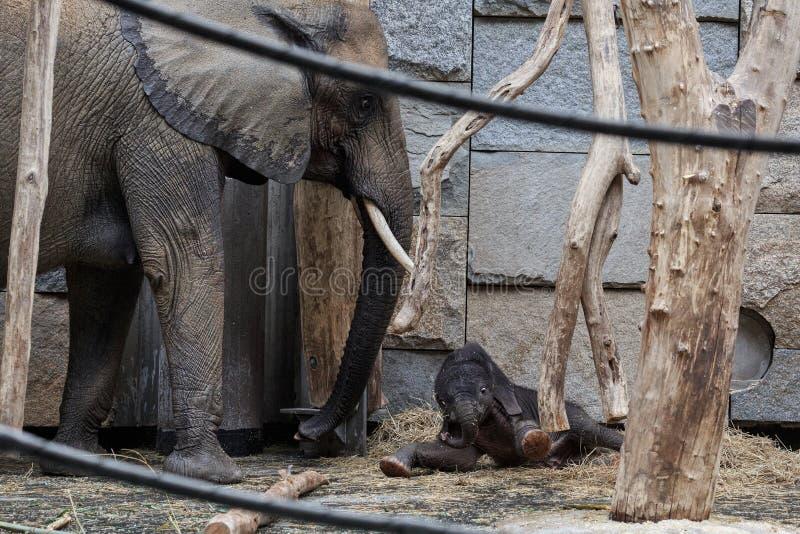 Słoń rodziny - macierzysty i nowonarodzony dziecko słoń Zoo Tiergarten Schoenbrunn, Wiedeń, Austria zdjęcia stock