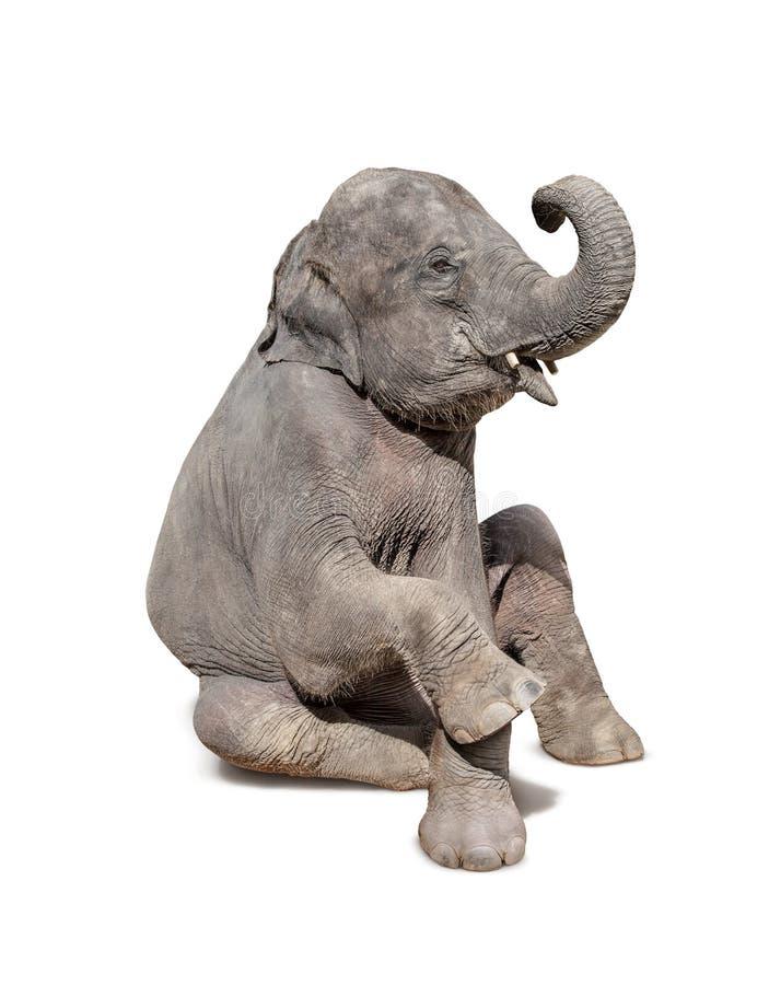 Słoń siedzi puszek odizolowywającego na białym tle fotografia royalty free