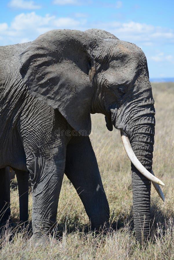 Słoń wędruje obszary trawiastych Serengeti fotografia stock